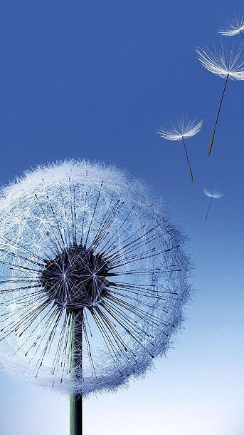 Dandelion seeds Galaxy S5 Wallpapers