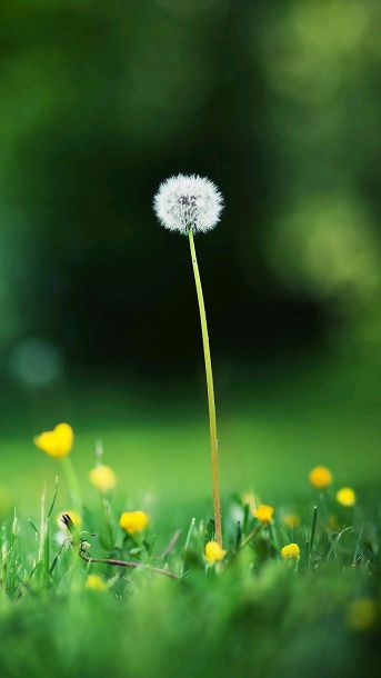 Dandelion wallpaper for samsung gakaxy S5